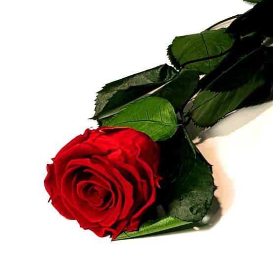 długa róża wieczna
