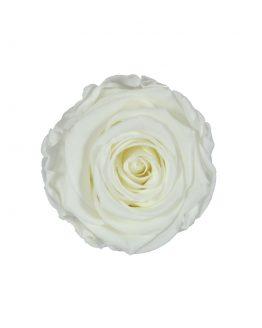 biała wieczna róża flat lay